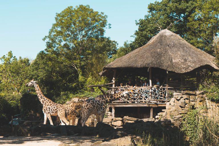 Hannover erlebnis zoo giraffe