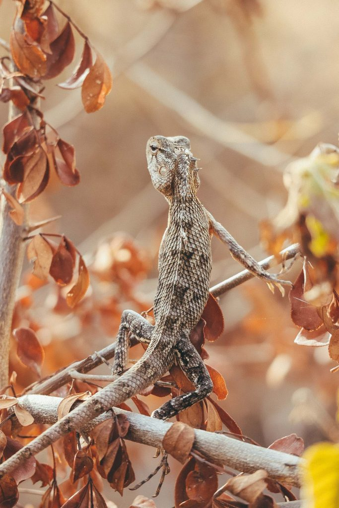 kameleon Udawalawe Nationaal Park