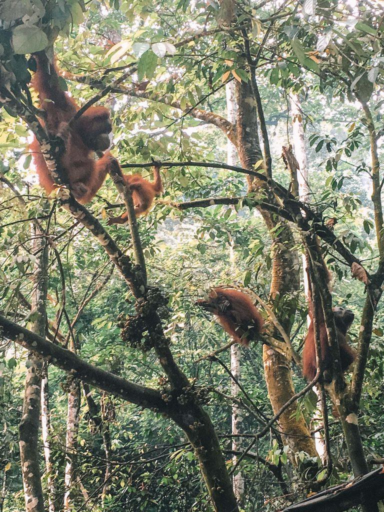 Orangutangs in Bukit Lawang