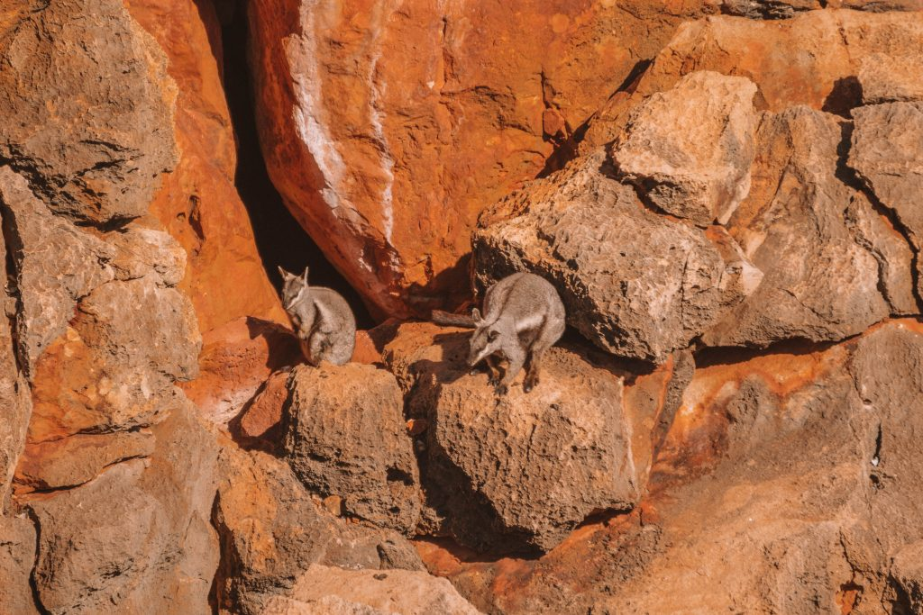 exmouth wallaby