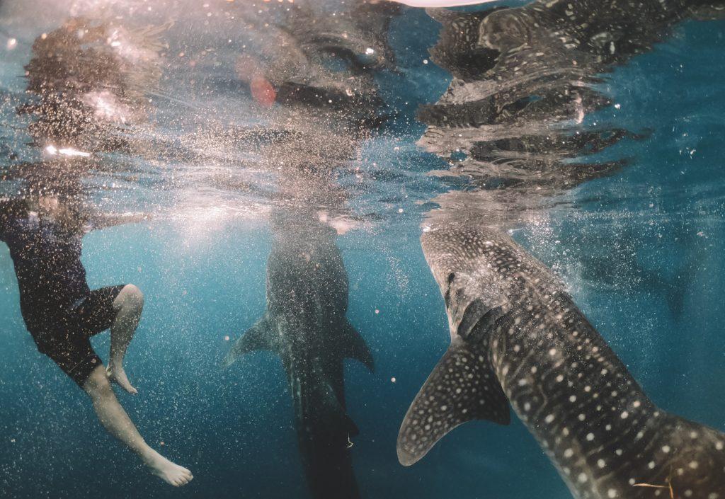 whalesharks oslob