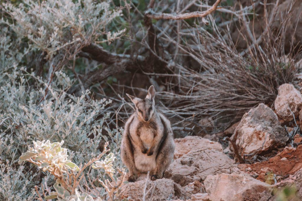 ningaloo cape range wallaby
