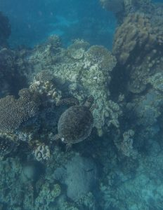 coral bay turtle