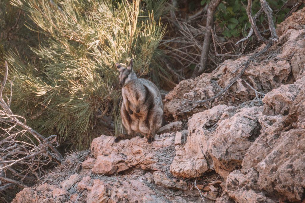 yardie creek wallaby