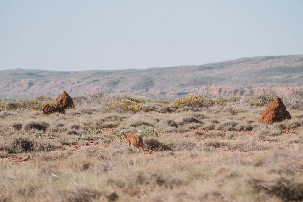 yardie creek kangoeroe
